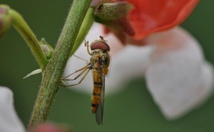 Phaseolus Coccineus and the Syrphidae